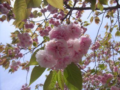 2014八重桜.jpg