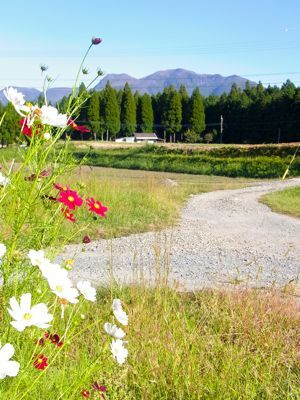 コスモスと山2013.jpg